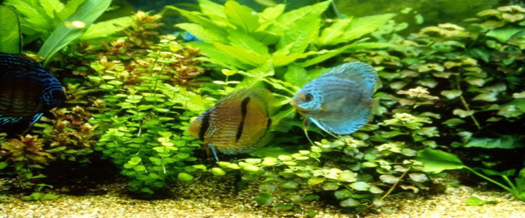 freshwater fish schweizer-reneke