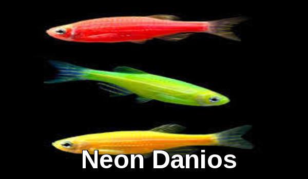 neon danios
