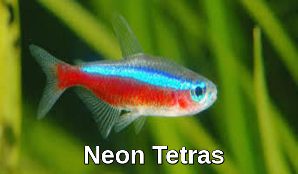 Neon Tetras