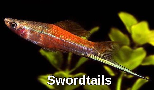 Swordtails